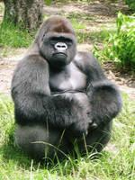 Gorilla by claire-dix