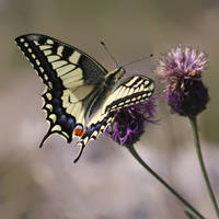 Papilio machaon by aexulans