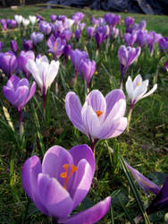 Crocus II by take-me-for-granted