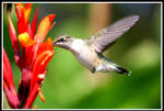 Hummingbird 2 by MegMarcinkus