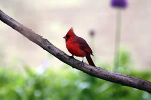 Cardinal by MegMarcinkus
