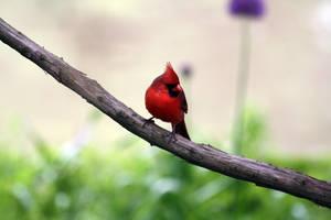 Cardinal 3 by MegMarcinkus
