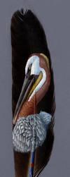 Brown Pelican by Denali