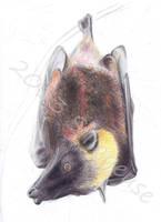 Acerodon jubatus by Sillageuse