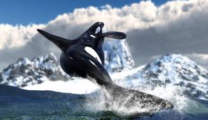 Orca Breach :: [If Tilikum was Free ] by DrowElfMorwen