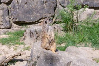 Meerkat on guard by JoeWei