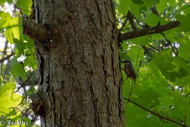 Woodpecker at work by JoeWei