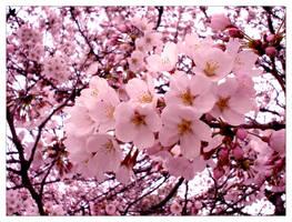 Cherry Blossom by emsox