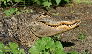 American Alligator by panda69680102