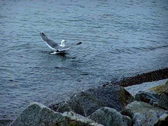 Bathing Seagull by Dark-Lost-Soul