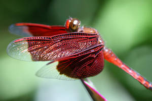 Bali Red Dragonfly by Bibi-MaBelle