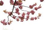 sakura by ImpalaStock
