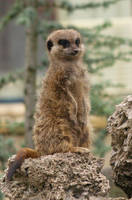 Meerkat2 by corvidius