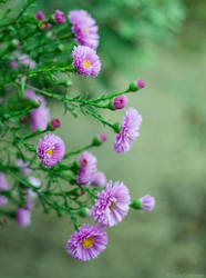 Aster I by LuciaConstantin