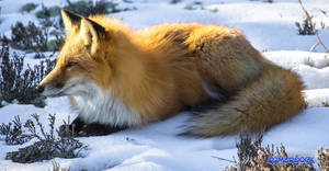 Winter Fox by robmurdock