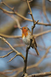 Red Breast by lau1