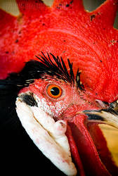 Rooster II by rgphoto777