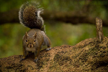 Gray Squirrel by rgphoto777