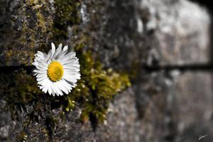 Mauerbluemchen - Wallflower by MReiser
