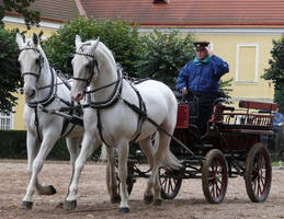 Kladrubers in harness by sarming