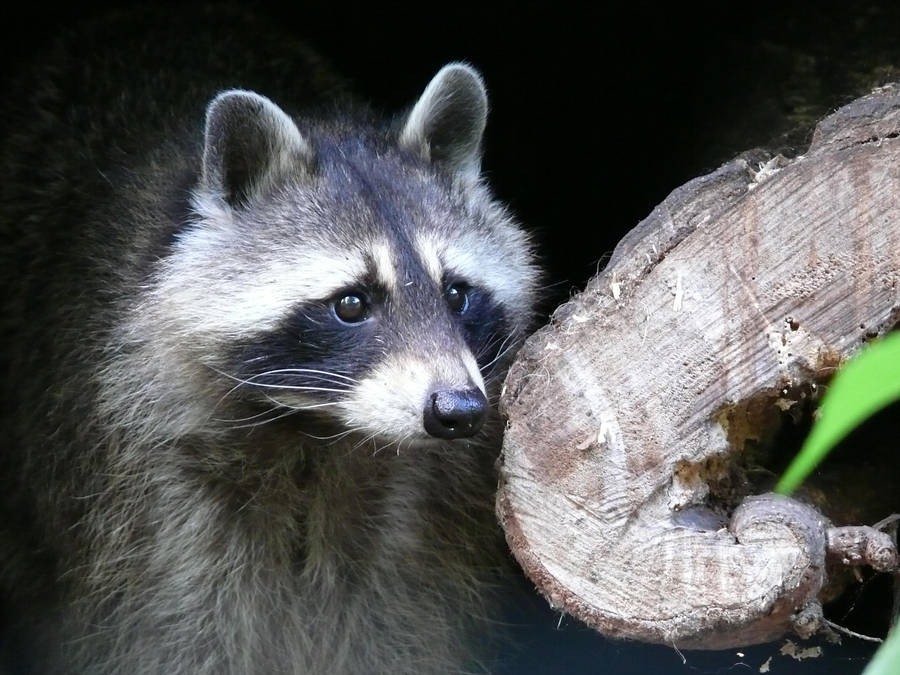 wild coon by sarming