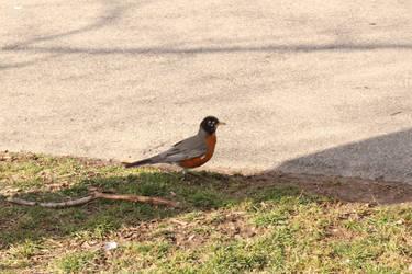 Robin by Musicislove12