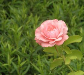 Pink rose by Hitodenashi23