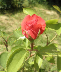 Red rose by Hitodenashi23