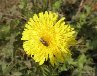Bee on Taraxacum by Hitodenashi23