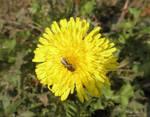 Bee on Taraxacum by Hitodenashi23