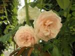 White pink rose by Hitodenashi23