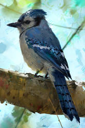 Blue Jay Study by AaronGriffinArt