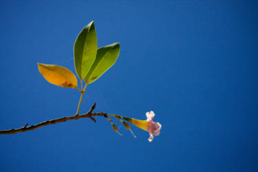 Flower of Martinique... by Mamouuuth