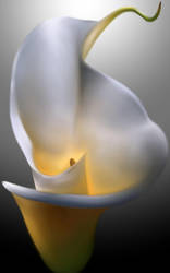 Calla Lily by birds-on-a-wire