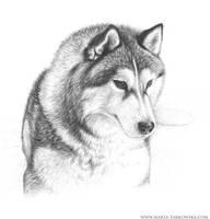 Husky 2 by Metulji