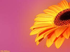 orange flower by ada-adriana