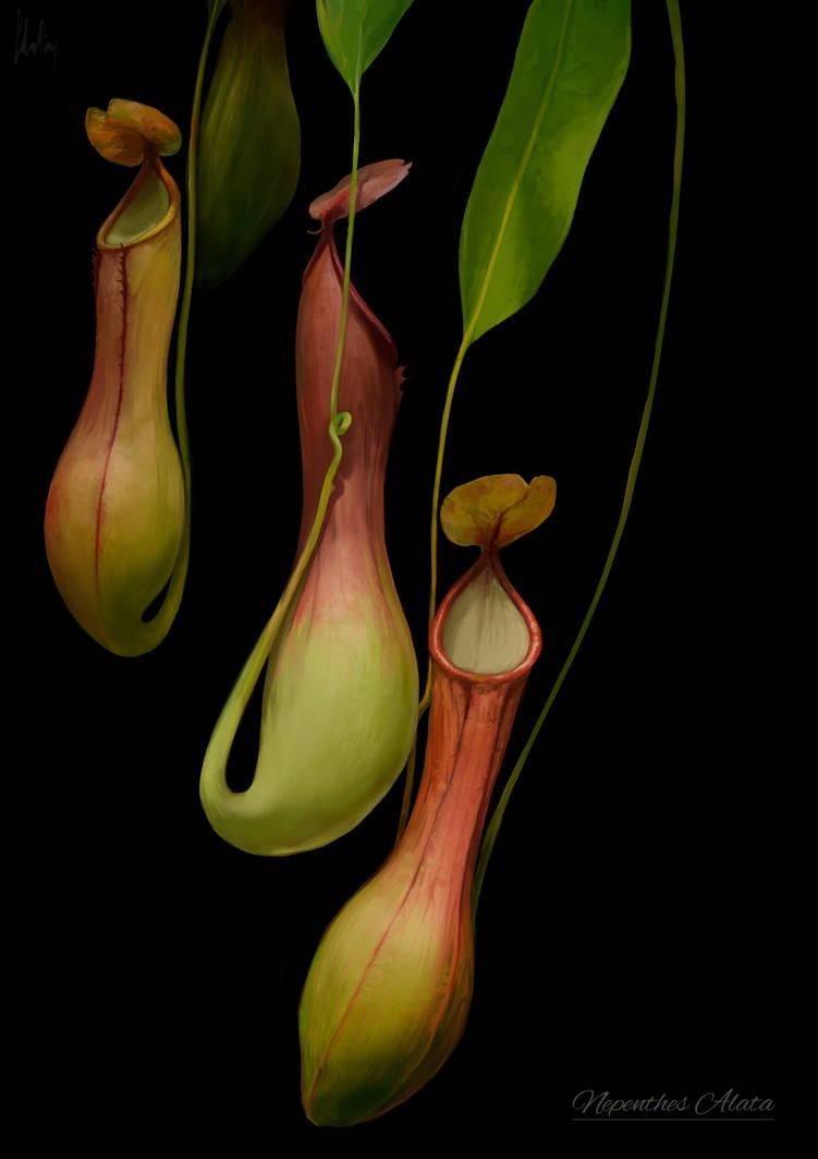 Nepenthes Alata by AnaSchatten