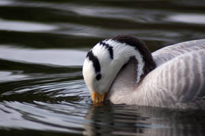 Bar headed goose by hannahMCx