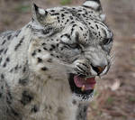snow leopard by aremid