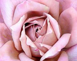 Rose Closeup by wolfepaw