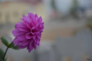 Georgian flower dedicated to Carolyn by Rikitza