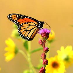 Monarch on Blazing Star 1 by TerrieSoberg