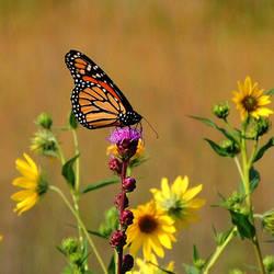 Monarch on Blazing Star 2 by TerrieSoberg