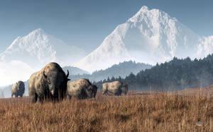 Buffalo Grazing by deskridge