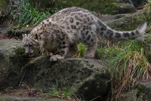 Snow Leopard 52 by CastleGraphics