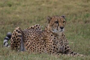 Cheetah 17 by CastleGraphics