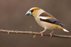 Hawfinch by CyprianMielczarek