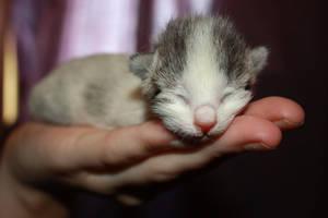 kitten1 by paradoxrunt