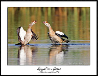 Egyptian Geese by MrStickman