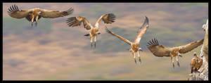Cape Vulture Landing by MrStickman